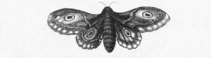 Nattfly